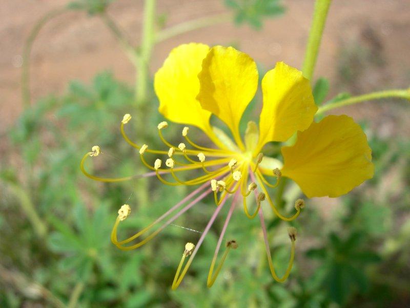 Antonym of family capparidaceae - synonyms.com